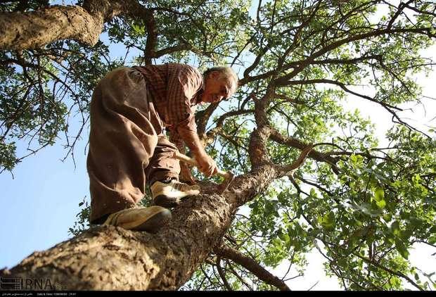 سخاوتمندی جنگل های زاگرس و حکایت زخم های کهنه و تازه بر پیکر درخت قزوان