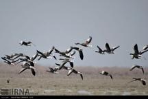 فرود 10 هزار قطعه پرنده مهاجر در تالاب یوسفکند مهاباد
