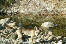 روباه شنی برای نخستین بار در ایلام مشاهده شد