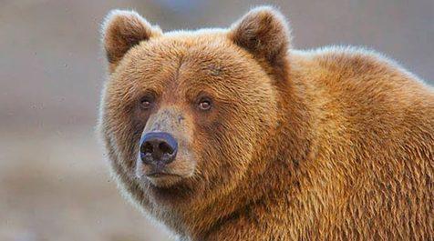 ورود خرس به محوطه بیمارستانی در روسیه