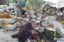 برداشت ارقام تجاری خرما در دلگان آغاز شد