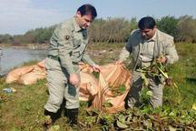 پاکسازی 125 هکتار مناطق تالابی شهرستان صومعه سرا از سنبل آبی