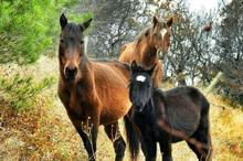 لزوم اصلاح نژاد و ثبت اسب لرستان