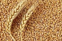 10هزار و 500 تن بذر گندم در استان بوشهر تولید شد