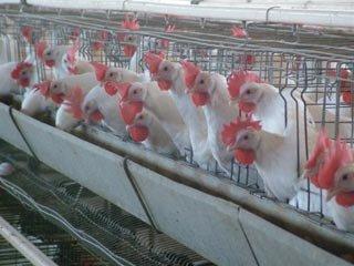 مرغ از ارز پیش گرفت