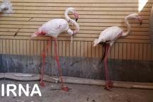تحویل فلامینگوهای آسیب دیده خلیج گرگان به محیط زیست