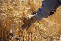 358هزار تن گندم از کشاورزان لرستان خریداری شد