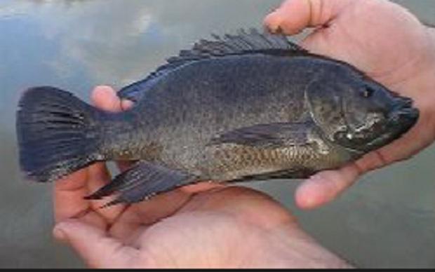 نخستین مرکز پرورش ماهی تیلاپیا در سمنان راه اندازی می شود
