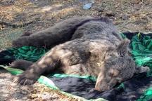 حبس تعزیری عامل شکار خرس قهوهای در مشگینشهر