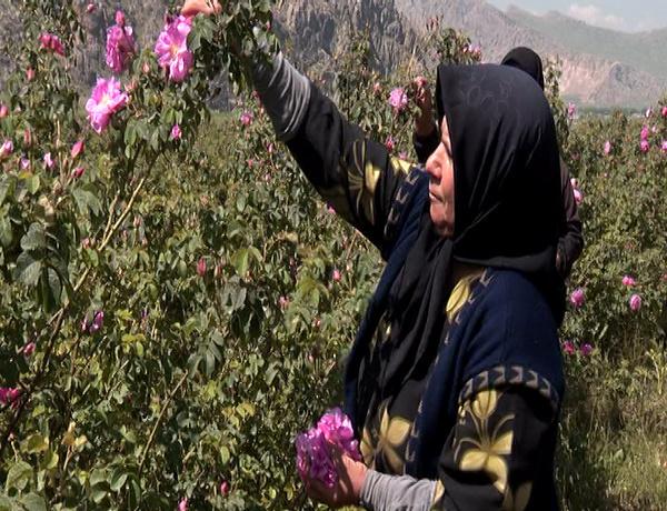 آغاز برداشت گل محمدی از گلستانهای استان کرمانشاه