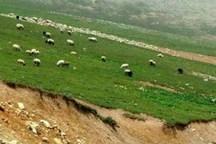 850 راس دام مهاجر از مراتع دلیجان اخراج شدند