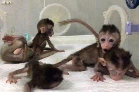 تولد 5 میمون شبیه سازی شد در چین