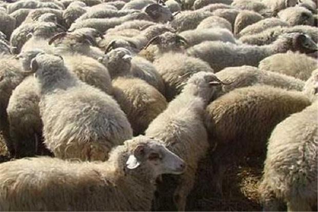 13 هزار و 500 راس گوسفند از اروندرود وارد کشور شد