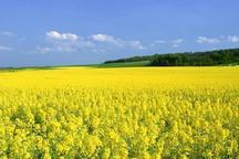 افزون بر 410 تن دانه روغنی در ایرانشهر خریداری شد