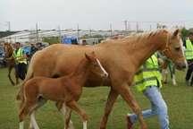 پایان دوازدهمین جشنواره ملی زیبایی اسب ترکمن با معرفی گونه های برتر
