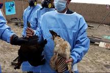 هیچ موردی از آنفلوآنزای فوق حاد طیور در استان یافت نشد