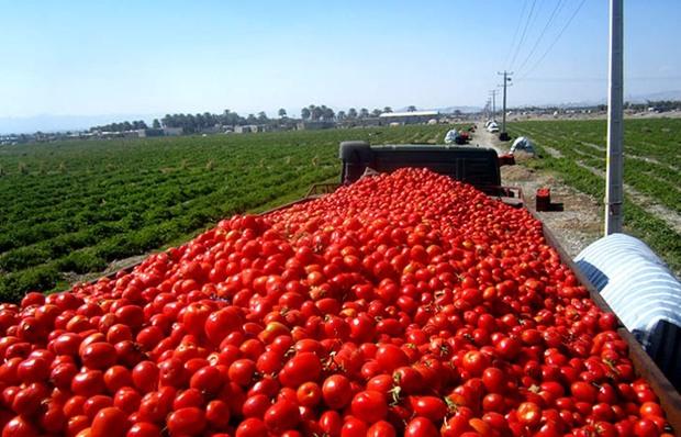 پیش خرید گوجه ،حذف دلال ها و خوشحالی کشاورزان