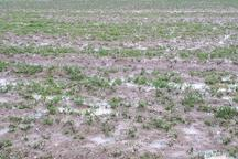 تگرگ به 11 هزار و 811 هکتار زمین کشاورزی بیجار خسارت زد