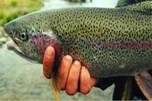 بیش از 17 تن ماهی قزل آلا از آستارا به روسیه صادر شد