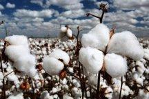 بیش از 6 هزار تن پنبه از مزارع شهرستان فسا برداشت شد