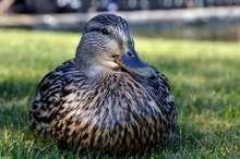 حضور اردک وحشی در یکی از باغ های جاجرم