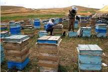 رشد 15 درصدی مزارع پرورش زنبور عسل در گیلانغرب