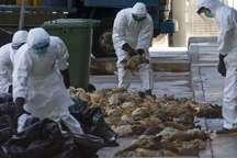 شناسائی چند کانون آنفلوانزای مرغی در مازندران