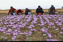 پرداخت افزون بر29میلیارد ریال برای توسعه وایجاد مزارع زعفران خراسان شمالی
