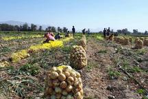 برداشت پیاز بهاره در ایرانشهر آغاز شد
