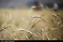 ۱۸۰ هزار تن گندم از اراضی شهرستان شوش برداشت میشود