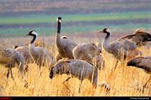 تایباد، میزبان زمستانی درنای خاکستری  جریمه نقدی و حبس برای شکارچیان متخلف