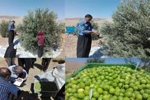 برداشت اولین زیتون دیم در روستای زرده دالاهو