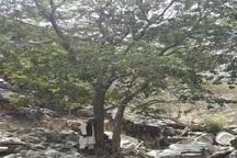 کشف تنها رویشگاه طبیعی درخت داغداغان در شهرستان سراوان