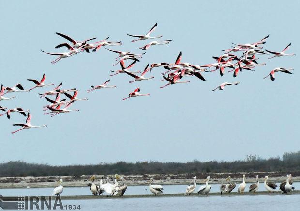 پرندگان مهاجر برای زمستانگذرانی وارد خلیج گرگان و جزیره آشوراده شدند