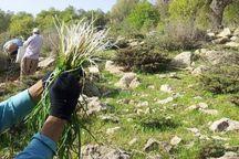 کشت گیاهان دارویی در کنگاور آغاز شد