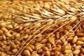 17000 تن گندم مناطق گرمسیری استان مرکزی خریداری شد