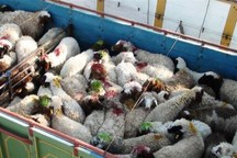 کامیون های حامل احشام قاچاق در چرداول توقیف شدند