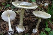 مصرف قارچهای فلهای ممنوع  علائم مسمویت قارچی!