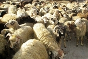 3 میلیارد ریال دام قاچاق در حاجی آباد کشف شد