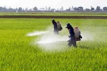 پایان مبارزه با آفت سن مادر در مزارع کشاورزی بوئین زهرا