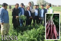 رشد 10برابری کشت هویج سیاه در قلعه گنج استان کرمان