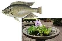 سنبل آبی و ماهی تیلاپیا به فاجعه زیست محیطی در ایران تبدیل شده اند