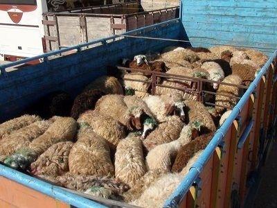 کشف 210 راس گوسفند قاچاق در رشتخوار