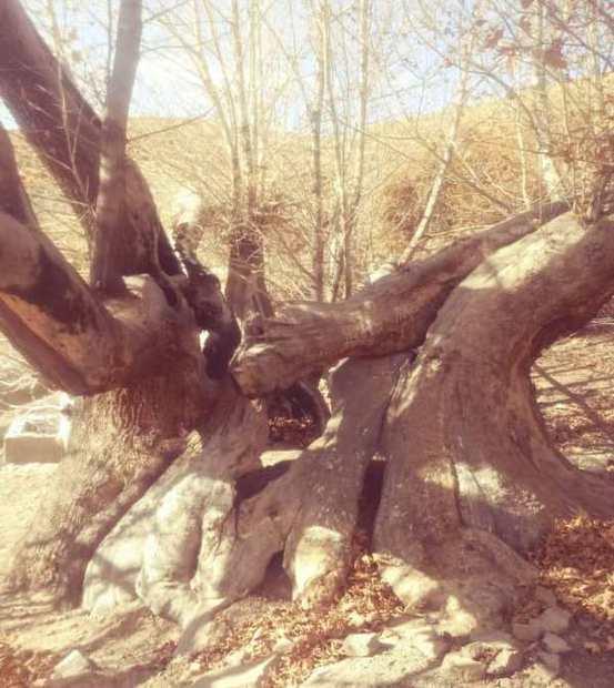 عمر درخت چنار ماهان پنج هزار سال تخمین زده می شود
