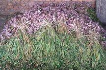 1800 هکتار از زمینهای کشاورزی شهرستان طارم زیر کشت سیر رفت