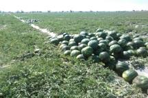 کشاورزان ابرکوه از کاشت هندوانه پرهیز کنند
