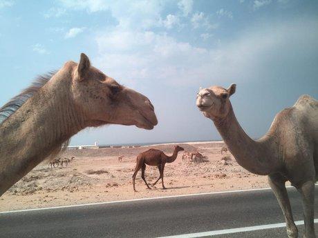 همزمان با بحران آب در کشور، مراتع استان فارس به شترهای قطری اجاره داده می شود!