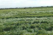 تندباد 140 میلیارد ریال به کشاورزی دزفول خسارت زد