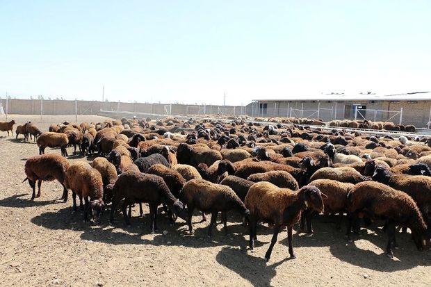 ۱۰ واحد دامداری در سیستان و بلوچستان در حال ساخت است