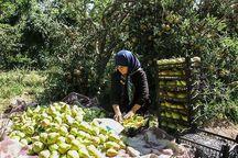 ارومیه پیشتاز تولید گلابی در آذربایجانغربی است